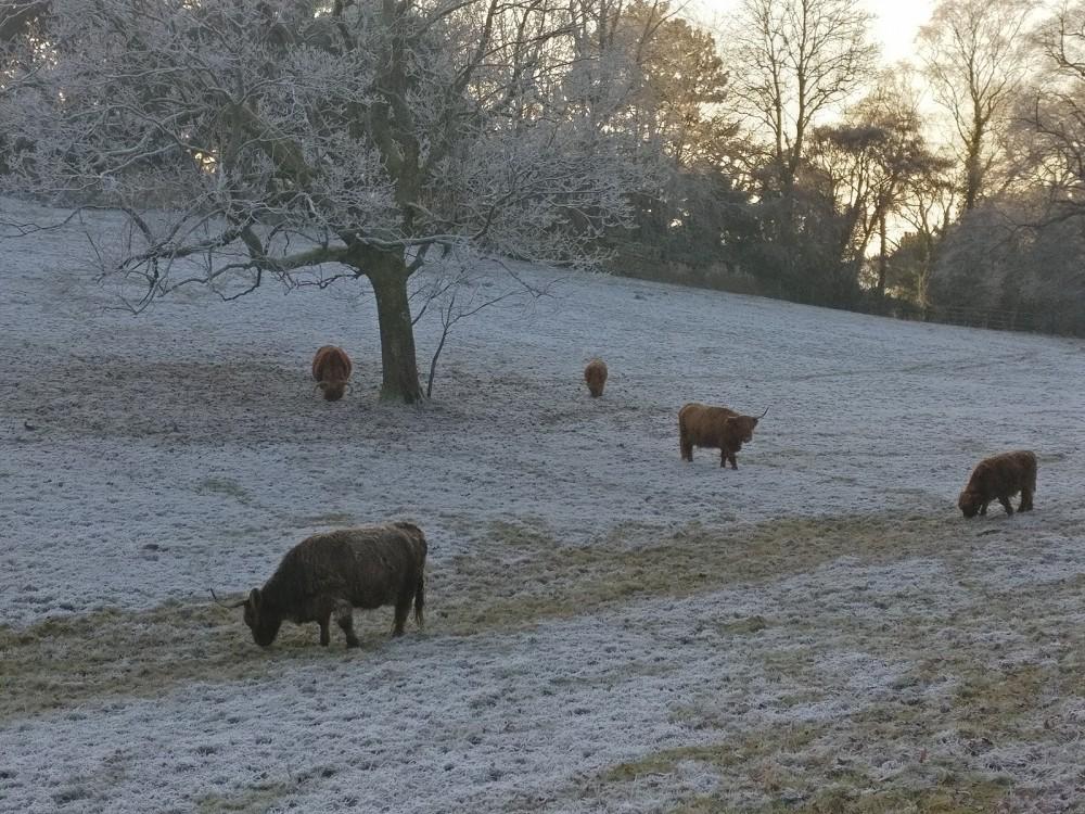 Highland cattle in Pollok Park