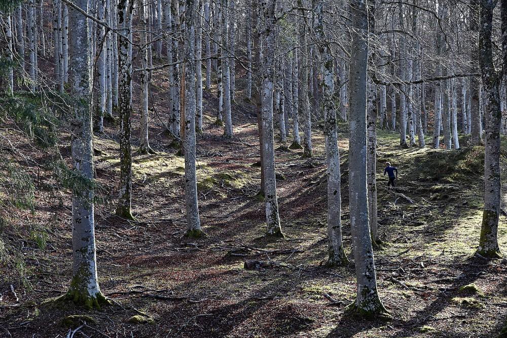 Open beech forest, Darnaway