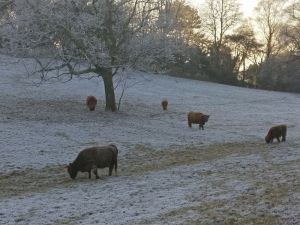 Highland cattle in Pollok Park, Sally Lindsay