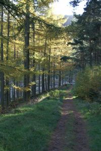 Larch woods, Cademuir Hill, Crawford Lindsay