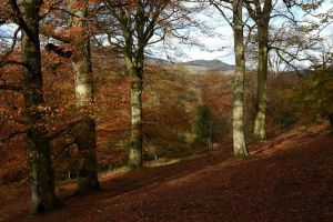 Beech woods, Penicuik Estate (Pentlands beyond), Crawford Lindsay